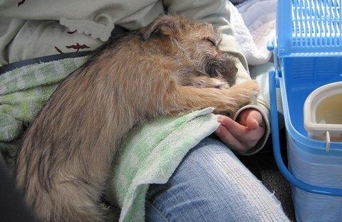 ノーリッチテリアのあたまる お昼寝画像