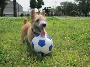 ノーリッチテリアのあたまるとサッカーボール