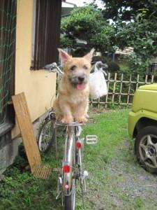 ノーリッチテリアのあたまる 自転車でおすわり